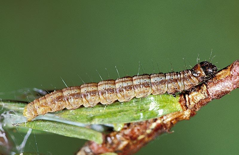 Juniper webworm