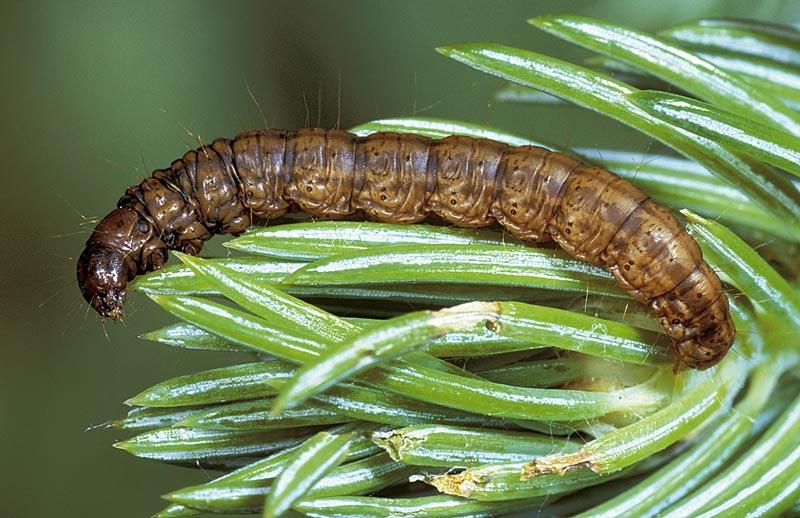 Spruce needleworm, Paler dolichomia moth