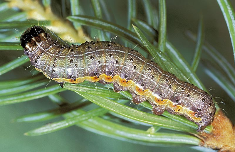 <em>Egira&nbsp;simplex</em> - Dorso-lateral view of mature larva, on Sitka spruce