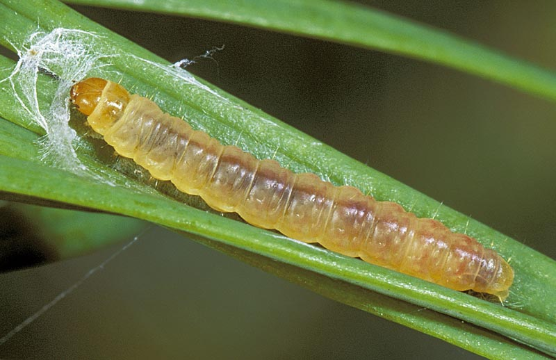 Spruce tip moth; redstriped needleworm -
