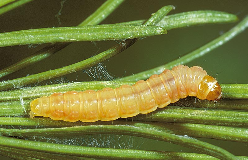 Spruce tip moth; redstriped needleworm
