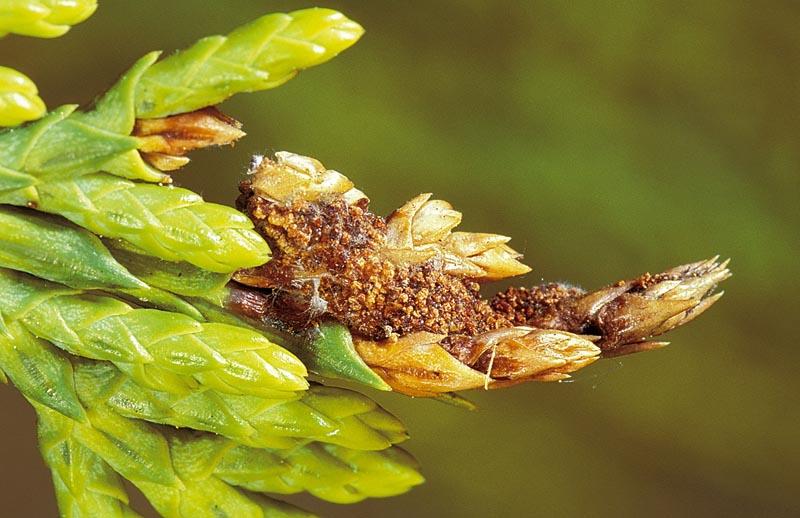 Cypress leaftier