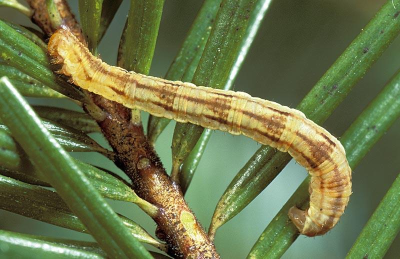 Larch pug moth -
