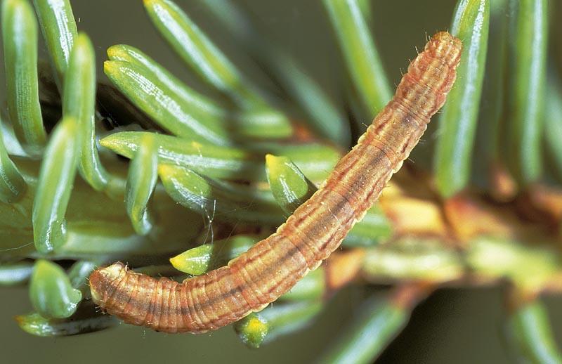 Larch pug moth