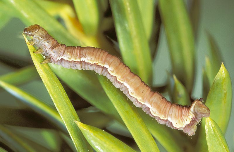 <em>Eupithecia&nbsp;interruptofasciata</em> - Dorso-lateral view of