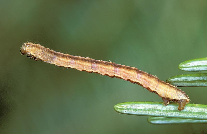 Fir needle inchworm
