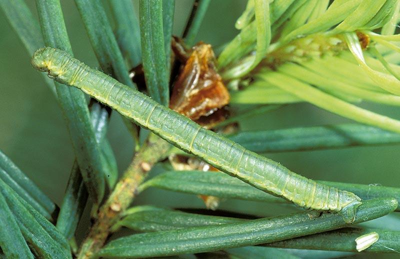 <em>Eupithecia&nbsp;longipalpata</em> -