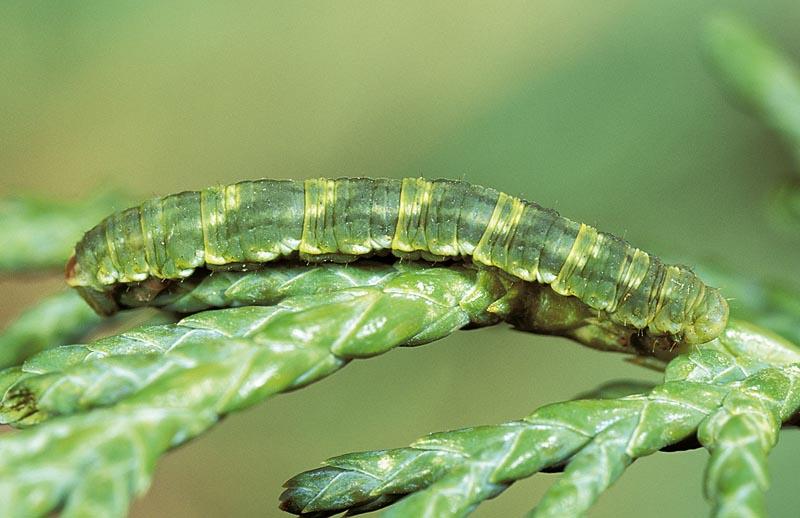 <em>Eupithecia&nbsp;niphadophilata</em> -