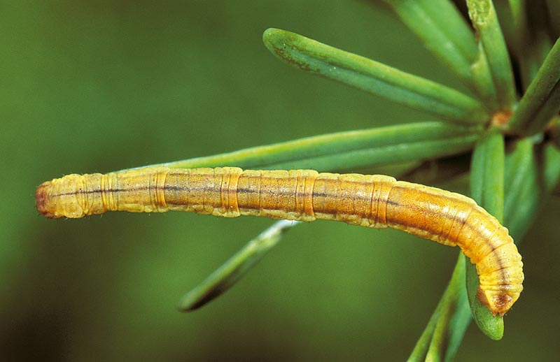 Small pine looper -