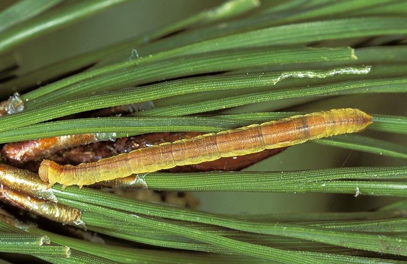 Small pine looper