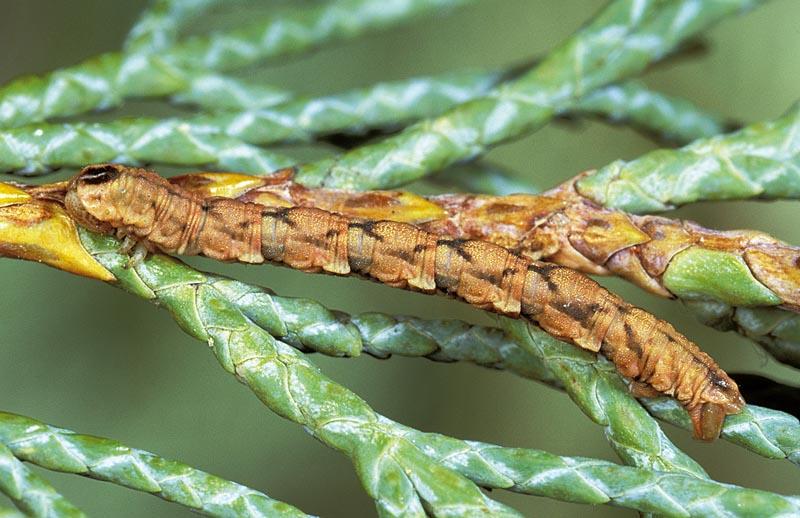 <em>Eupithecia&nbsp;placidata</em> -