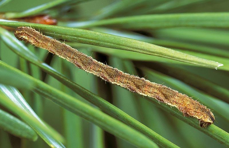 <em>Eupithecia&nbsp;subfuscata</em> -