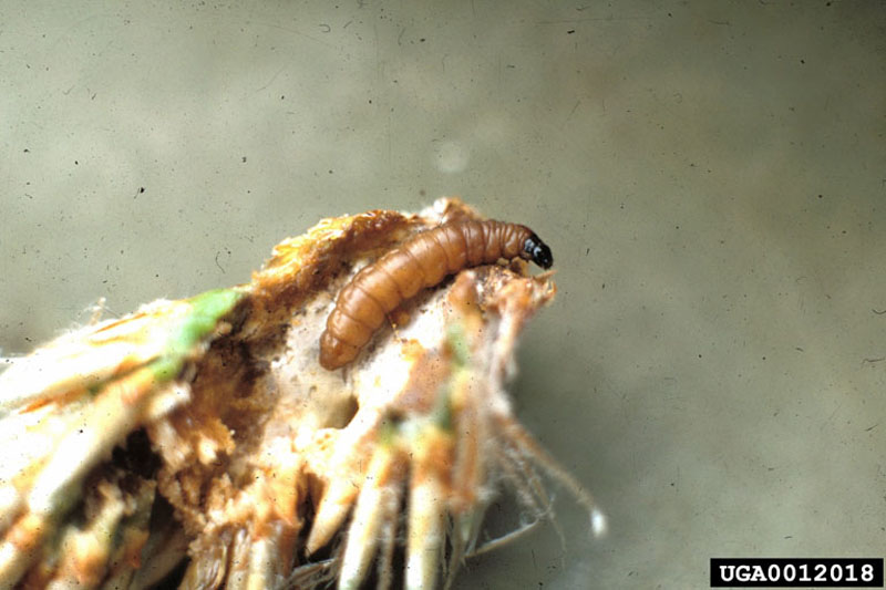 European pine shoot moth - Flushed out of damaged shoot