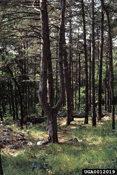 European pine shoot moth