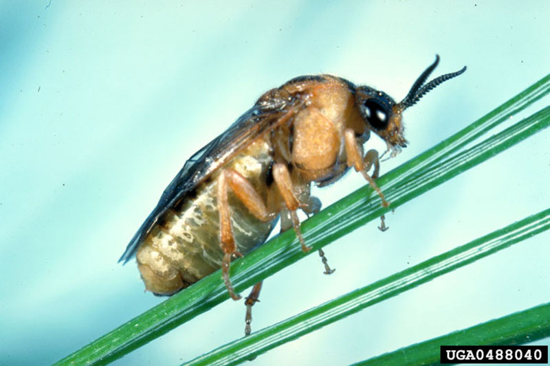 Introduced pine sawfly