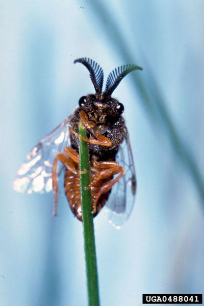 Introduced pine sawfly