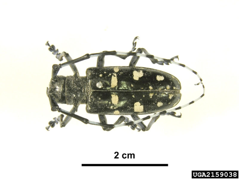 Asian longhorned beetle - Dorsal view; Intercepted by AQIS Victoria in timber pallett from China. June 2005