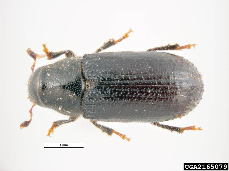 Pine shoot beetle - Dorsal view