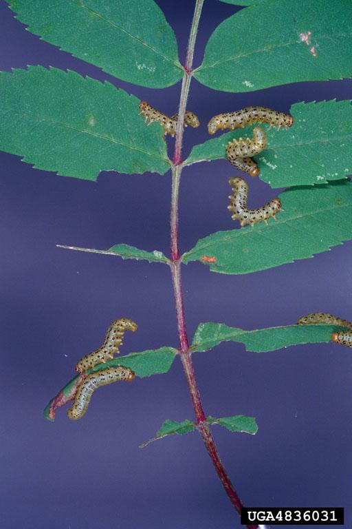 Mountain ash sawfly