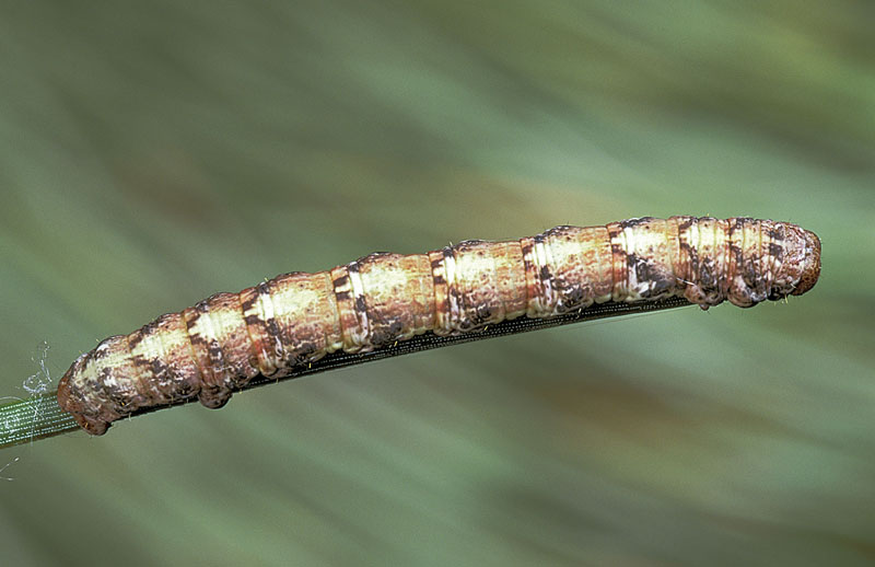 Pine measuringworm moth -