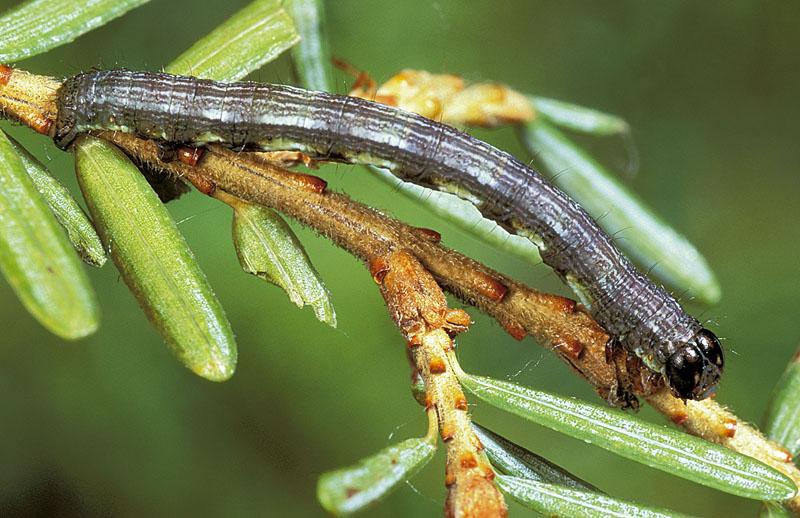 Spruce fir looper -