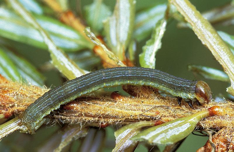 Spruce fir looper
