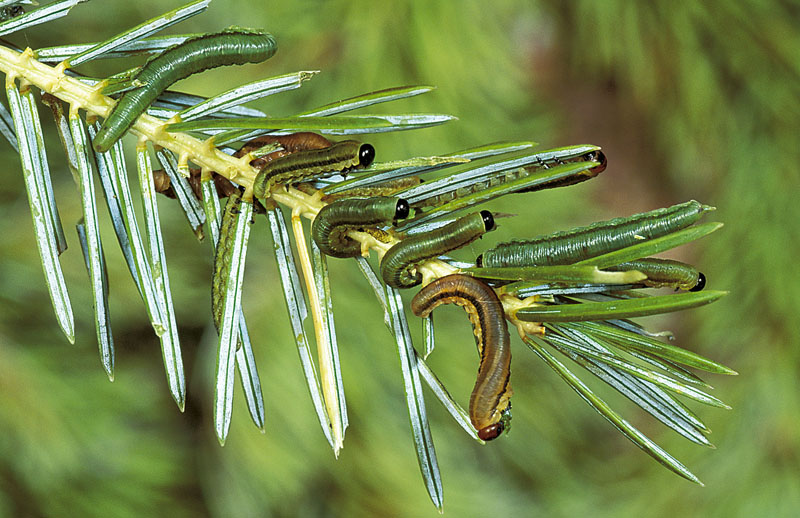 Balsam fir sawfly
