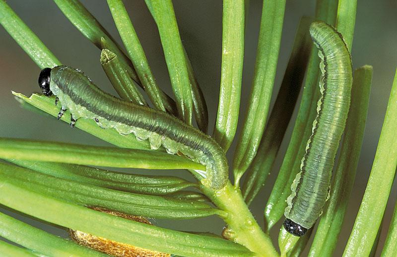 Balsam fir sawfly -