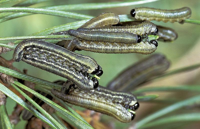 European pine sawfly