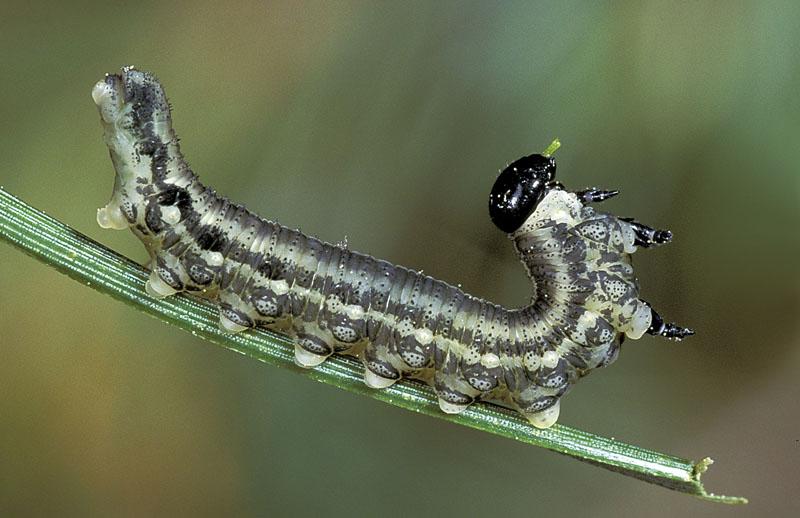 European pine sawfly -