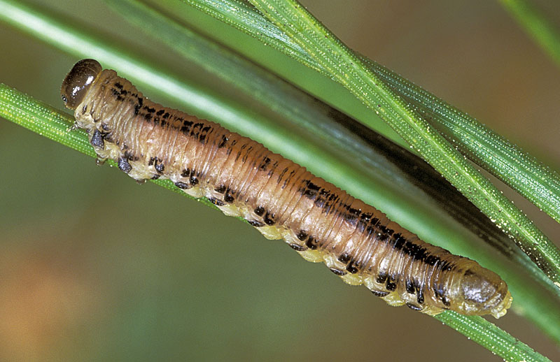 Red pine sawfly -