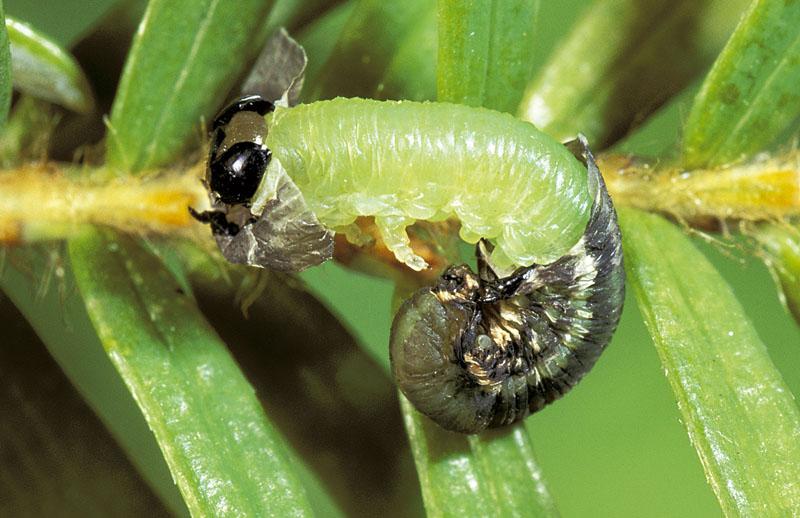 Hemlock sawfly
