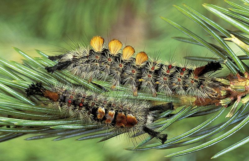 Douglas-fir tussock moth