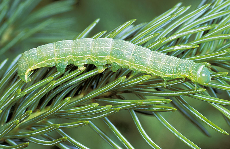 Speckled green fruitworm