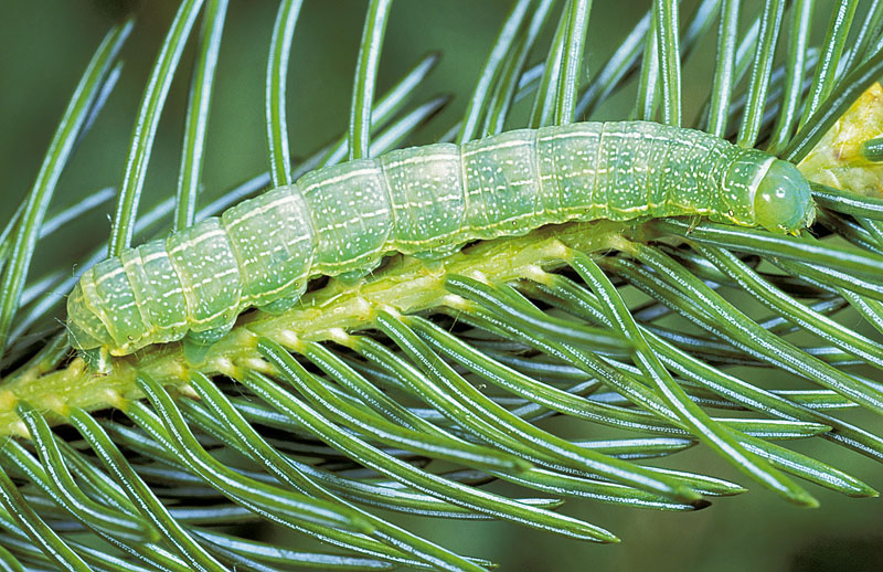Speckled green fruitworm -