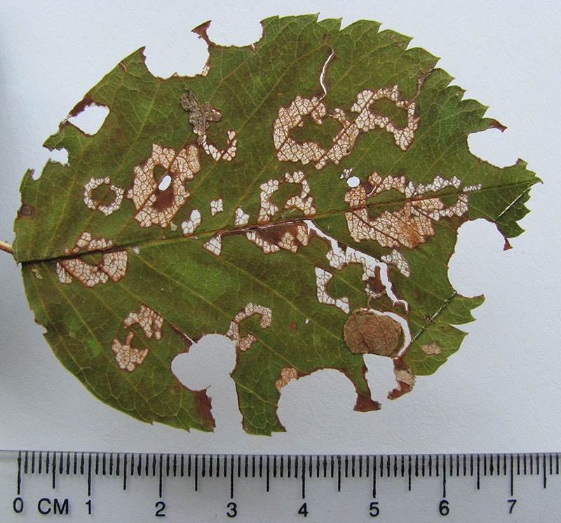 Maple leafcutter