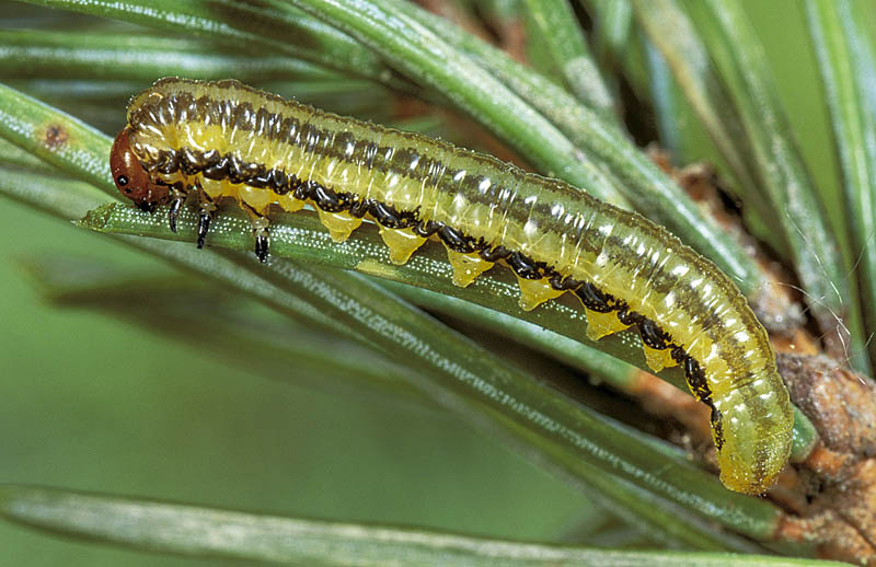 Yellowheaded spruce sawfly - Dorso-lateral view of mature larva, on Engelmann spruce