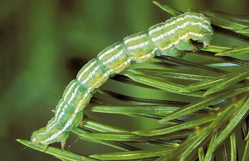 Spruce climbing cutworm -