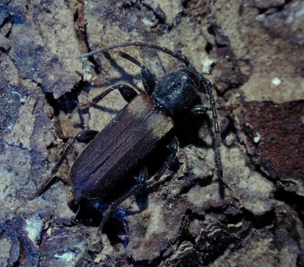 Brown spruce longhorn beetle