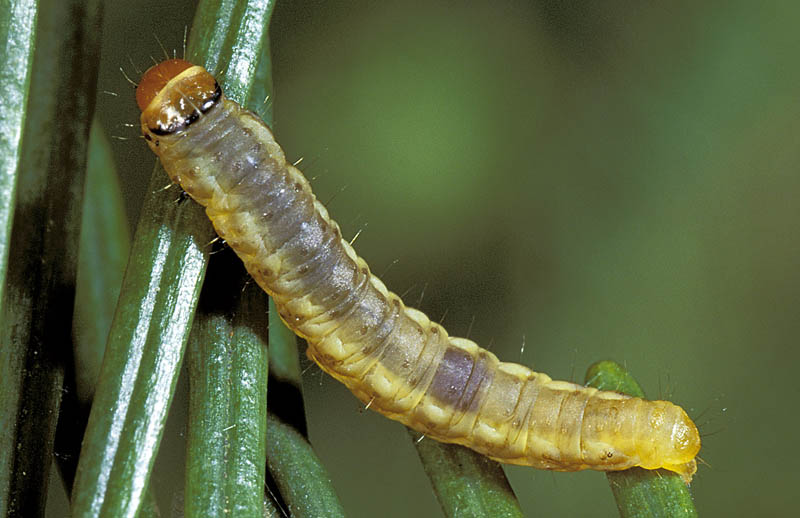 Douglas-fir bud moth -