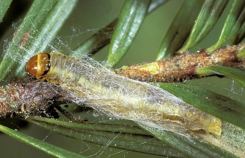 Douglas-fir bud moth