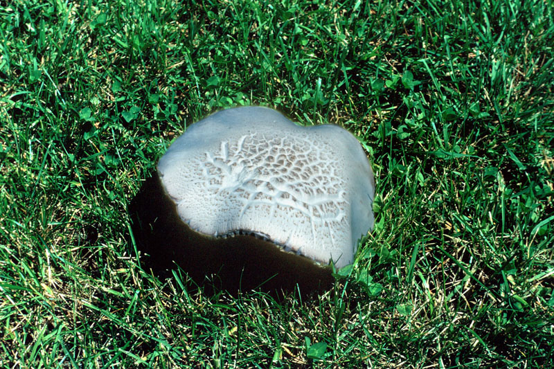 Horse mushroom