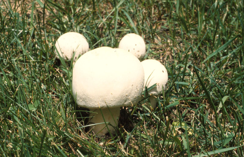 Horse mushroom - Whole mushroom, fruiting body