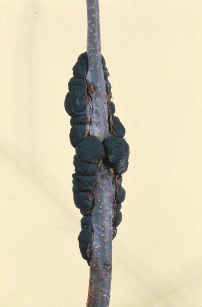 Black knot - Black knot