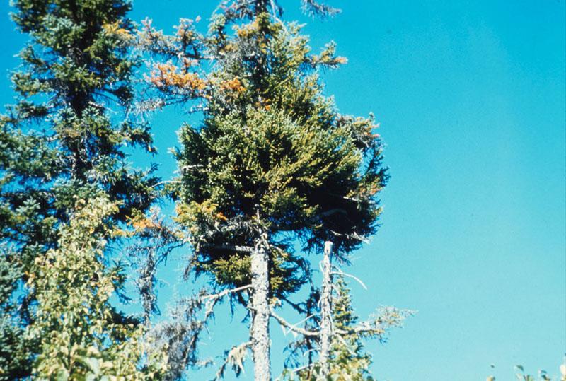 Eastern dwarf mistletoe