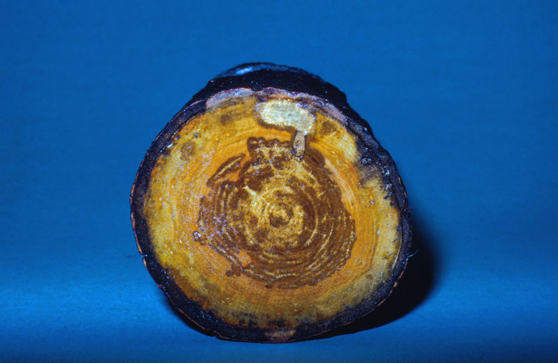 Heart rot - Hearth rot caused by <em>Ascocoryne sarcoides</em>