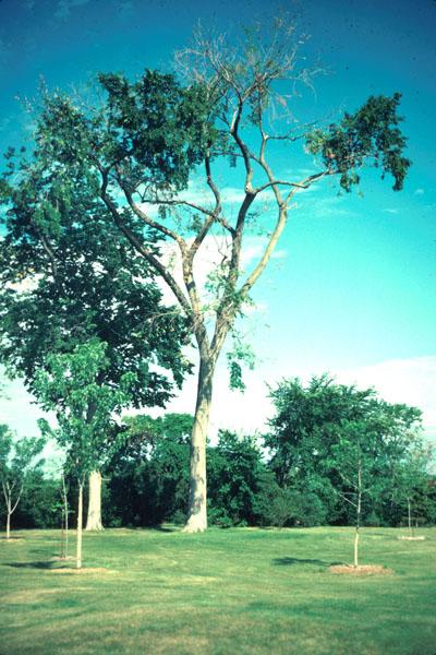 Dutch elm disease - Infected elm tree