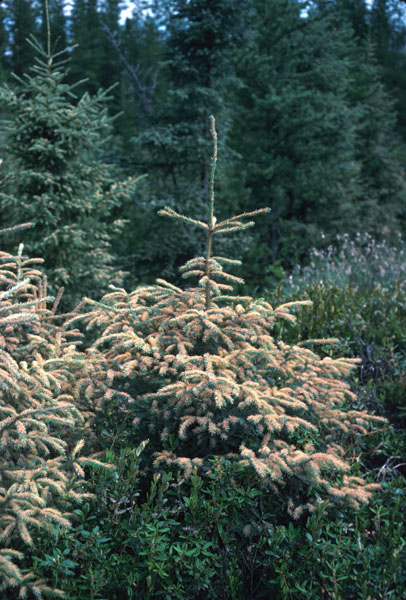 Spruce needle rust