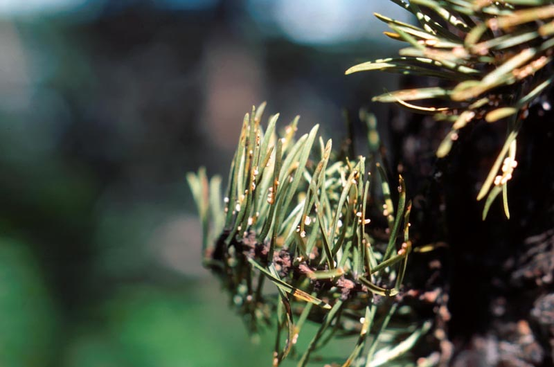 Needle rust of pine