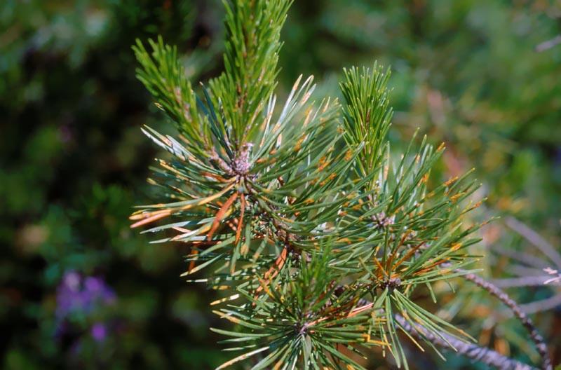 Needle rust of pine